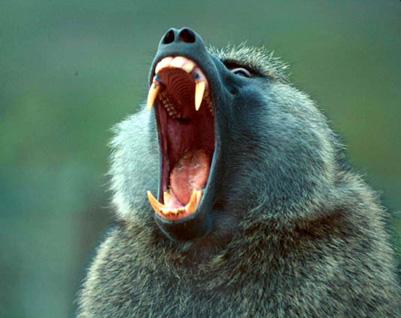 AfricaMonkey/baboon-jaws.jpg